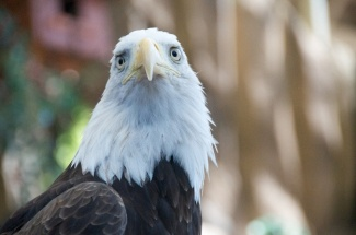 sad eagle